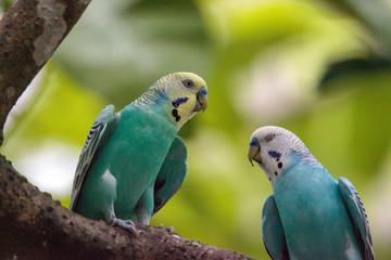 Blue and white Budgerigar parakeet bird Melopsittacus undulatus Fotomurales