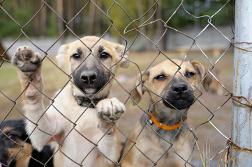 Sad twin stray puppies standing inside of the open air cage behind bars and looking at. Municipal animal shelter