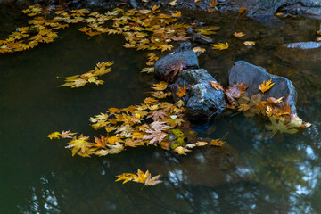 yellow leaves in the water