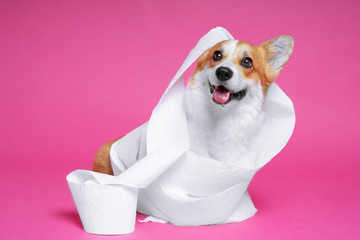 Photo of a cheerful corgi covered in toilet paper against a pink wall.