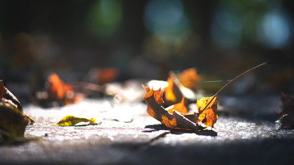 Aluminium Prints Autumn Delicate autumn leaves on the ground among the rays of the sun