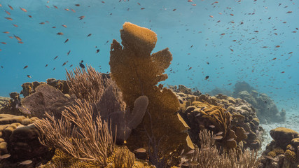 Seascape of coral reef in the Caribbean Sea around Curacao with Gorgonian Coral