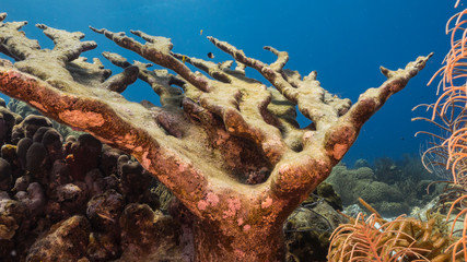Seascape of coral reef in the Caribbean Sea around Curacao with dead Elkhorn Coral