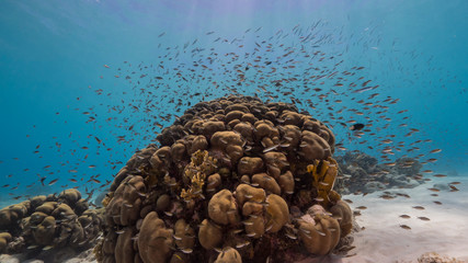 Seascape of coral reef in the Caribbean Sea around Curacao with fish, coral and sponge