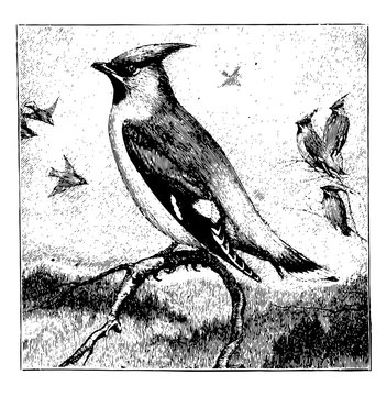 One Waxwing Sitting on a Branch in the Forefront with Three Waxwings Sitting on Branches and Four Flying Around in the Background, vintage illustration.