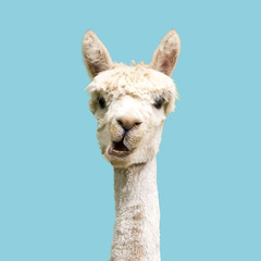 Foto auf Leinwand Lama Funny white alpaca on blue background