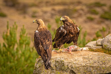 A pair of Spanish Imperial Eagles perched on a rock with prey
