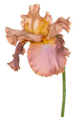 iris flower isolated