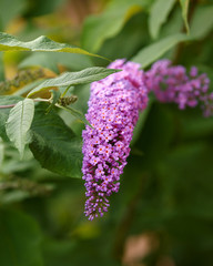 Spikes of pink Buddleia davidii flowers in summer garden