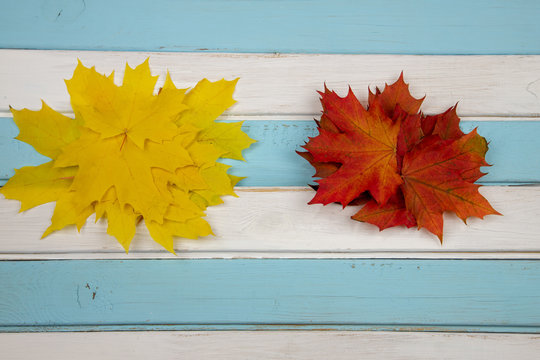 Red and yellow leaves of maple on a wooden white-blue background.