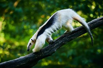 Southern tamandua - Tamandua tetradactyla in Brazil rain forest. Animal from central America.