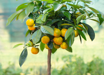 calamondin tree with ripe calamondin fruit