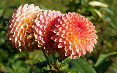 Poster de jardin Dahlia Dahlia | Beautiful decorative dahlia pompon or ball flower with magnificent rot and orange with yellow blunt petals slightly rounded at their tips