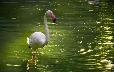 In de dag Flamingo pink flamingo in the pond