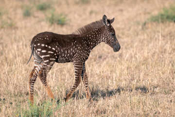Rare zebra foal with polka dots (spots) instead of stripes, named Tira after the guide who first saw her.  Image taken in the Maasai Mara National Park in Kenya.