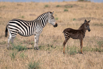 Wall Murals Zebra Rare zebra foal with polka dots (spots) instead of stripes, named Tira after the guide who first saw her, with her mother. Image taken in the Maasai Mara National Park in Kenya.