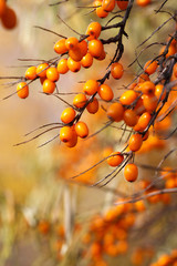 Obraz Branch with sea buckthorn berries and yellowing leaves on a background of yellow trees - fototapety do salonu