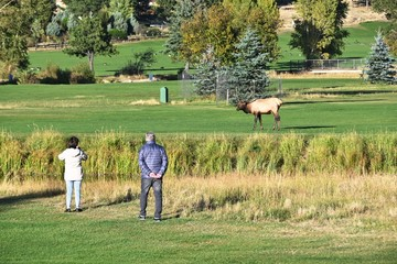 Tourists and Bull Elk