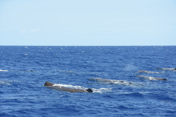 Whalewatching with sperm whales