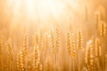 Stunning close-up picture of golden wheat against sunlight