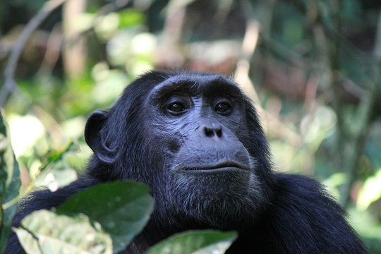 Common Chimpanzee - Scientific name Pan troglodytes portrait at Kibale Forest National Park, Rwenzori Mountains, Uganda, Africa