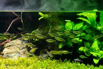 水槽の中で泳ぐネオンテトラ