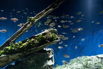 水槽の中で枯れ木の周りを泳ぐ小魚