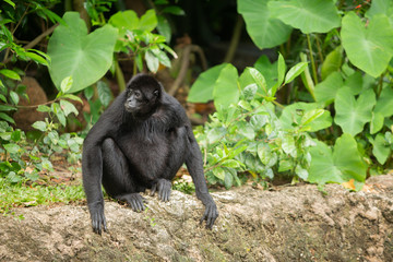 Siamang gibbon in the forest