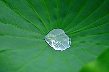 ハスの葉に溜まった水滴の情景