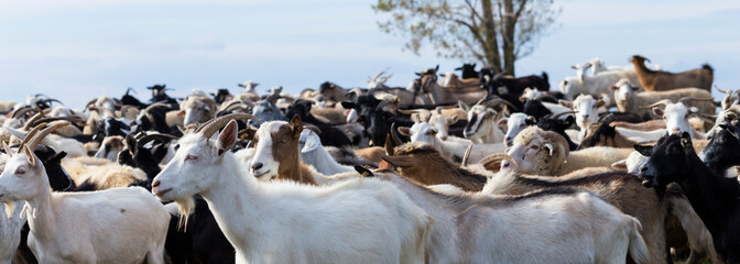 A herd of goats and sheep. Animals graze in the meadow. Pastures of Europe. Fotoväggar