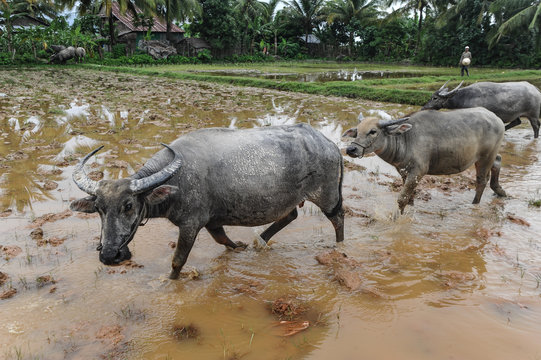 Water buffalo can be seen in many provinces across Asia
