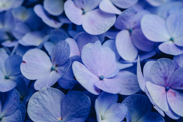 Hydrangea flower with soft selective focus and soft background. Royalty high-quality stock photo image macro photography of hydrangea flower isolated on nature background.