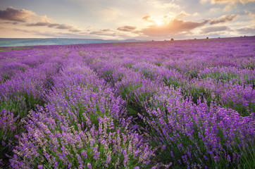Wall Mural - Meadow of lavender at sunrise
