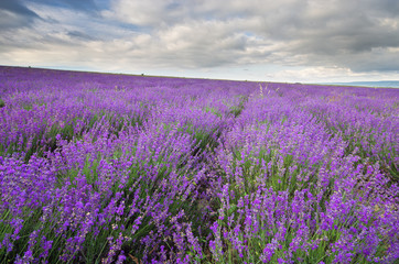 Wall Mural - Meadow of lavender at cloudy day.
