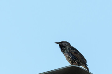 Common Starling by a blue sky