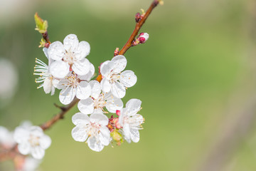 Branch of cherry with white flowers