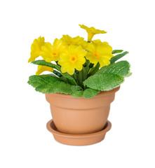 Ceramic flower pot with yellow primrose flowers