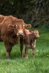 Veau et vache dans le pré  en Dordogne