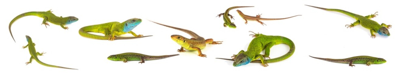 Green lizard set collection isolated on white background
