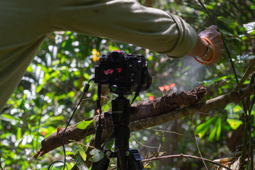 camera for taking picture of Red Cup Mushrooms growing on timber in the rain forest in Thailand