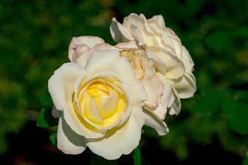 Sunny close up of several white La Perla rose flowers
