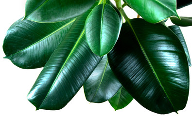 ficus elastica plant leafs with isolated white background