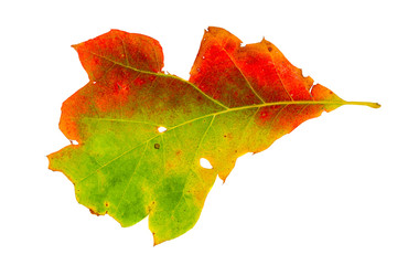 Real multi colored aok tree leaf with marks of cut and holes. Autumn haloween decoration object for your mockups.