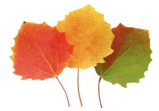 three autumn aspen leaves isolated on white