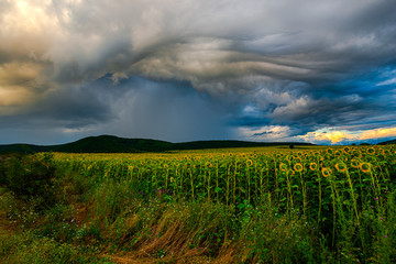 Storm clouds in the summer near sunflowers field