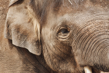 close-up of the huge head of an elephant