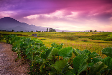 indonesia travel destination, framing of paddy fields with amazing color of sky in the morning