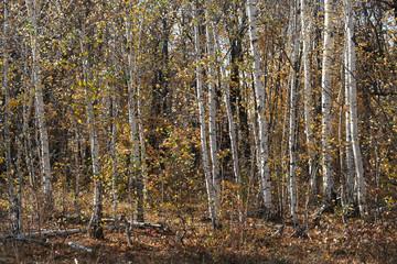 Keuken foto achterwand Bos in mist autumn birch grove, natural landscape