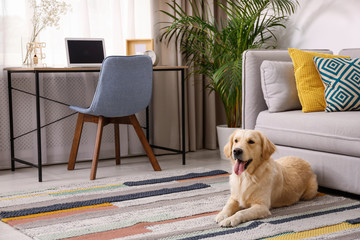 Modern living room interior. Cute Golden Labrador Retriever near couch