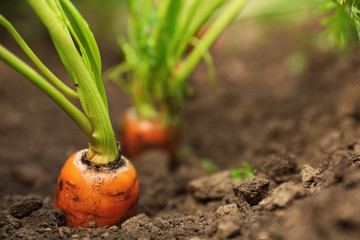 Ripe carrots growing in soil, closeup with space for text. Organic farming Fotomurales